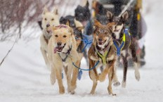 Former Davis resident, author and musher training for the Iditarod